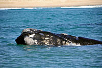 Southern right whale, Eubalaena australis, breathing near beach, Imbituba, Santa Catarina, Brazil, South Atlantic