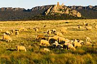 Pasture, flock of sheep, castle of Almorchon, sierra, Dehesa, La Serena, Extremadura, Spain