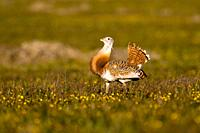 Great bustard (Otis tarda), displaying in open grassland, La Serena, Extremadura, Spain