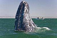 California Gray Whale Eschrichtius robustus in San Ignacio Lagoon on the Pacific side of the Baja Peninsula, Baja California Sur, Mexico Each winter t...