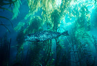 Harbor seal in giant kelp forest Phoca vitulina USA, Channel Islands, CA