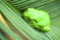 An Australian Green Tree Frog in Darwin, In the Northern Territory of Australia