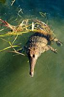 A fresh water crocodile or Johnston's crocodile , in the Northern Territory of Australia
