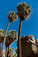 Fan palms at Lost Palm Oasis
