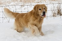 Golden Retriever in snow with fence