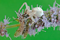 Crab spider with prey on flower