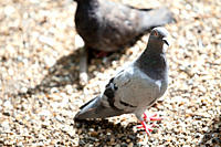Pigeons
