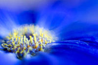 Close up of african daisy