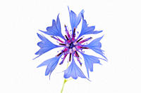 Close up of cornflower aginst white background