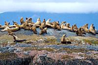 A colony of Sea Lions rests atop rocks in Gwaii Haanas National park, Haida gwaii, British Columbia, Canada