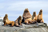 A colony of Stellar Sea Lions rest on the rocks, Gwaii Haanas, Haida Gwaii, British Columbia, Canada