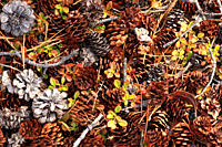 Pine cones and needles on the forest floor, Yukon.