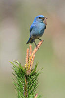 Mountain Bluebird Sialia currucoides perched on a branch