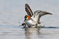 Red_necked Phalarope Phalaropus lobatus in a pond