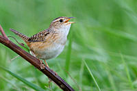 Sedge Wren Cistothorus platensis perched on a branch