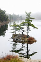 Pines on small island in McGregor Bay, Whitefish First Nation, Ontario, Canada