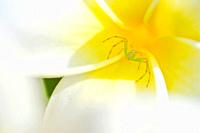 Green crab spider in the throat of a frangipani or plumeria flower