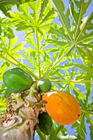 Carica papaya or papaya tree with ripe fruit