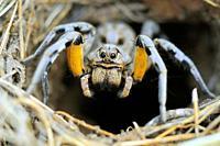 Wolf Spider.Lycosa tarentula fasciventris.Dehesas de Barcarrota.Badajoz province.Spain