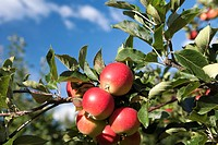 Apples on branch hardanger Norway
