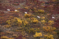 dall sheep male ovis dalli is a species of sheep native to northwestern