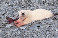 A young polar bear eating a baby whale likely a narwhale on the shore of Devon Island, Nunavut, part of Canada's Eastern Arctic