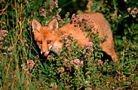 Red, Fox, cub, Hessen, Germany,Vulpes, vulpes