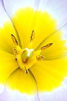 Wild, Tulip, blossom, detail,Tulipa, kaufmanniana, hybride