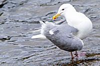 Alaska , Katmai National Park and Preserve , McNeil River Bear Viewing and Wildlife Sanctuary , falls of the Mc Neil river , Glaucous-winged Gull Laru...
