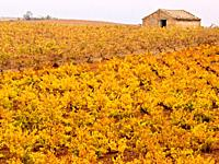Cariñean vines in autumn - Zaragoza - Aragon - Spain