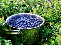 blueberries Vaccinium myrtillus