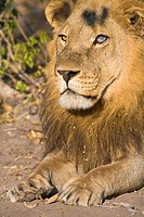 Portrait of a male lion (Panthera leo) in Botswana, Africa