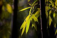 Bamboo in Baotu spring,Jinan,Shandong
