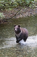 Young Grizzly Bear Cub Running Through A Creek, Hyder, Alaska, United States Of America