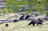 Sow Grizzly Bear Ursus Arctos Horribilis Leads And Guides Her Four Cubs Extremely Rare Through Yellowstone National Park, Wyoming, United States Of Am...