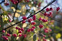 European spindle or common spindle Euonymus europaeus on fruits