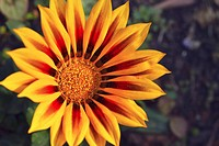 Yellow Gazania or African daisy  Family: Asteraceae, Genus: Gazania, Species: G  Rigens  South Africa