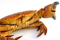 Edible crab Cancer pagurus