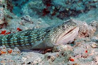 Lizard fish