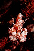 Harlequin shrimp Hymenocera elegans Bali, Indian Ocean, Indonesia