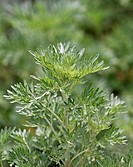 Wormwood or absinthium Artemisia absinthium, herb, leaves, Germany, Europe