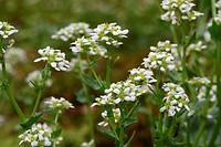 Bavarian Scurvy-grass (Cochlearia bavarica), only found in a few places in southern Bavaria, Allgau, Bavaria, Germany, Europe