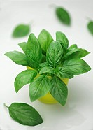 Fresh basil in a cup