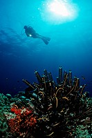 Scuba diver at a coral reef, Maldive Islands, Indian Ocean