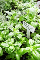Basil Plants for Sale, Price Sign