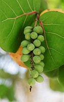 Seagrape and Baygrape Coccoloba uvifera, Dominican Republic, Caribbean