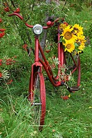 Yellow Sunflowers on bicycle