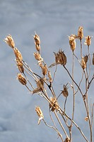 Dried Columbine seed pods in the Winter