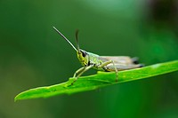 Slant_faced Grasshopper Gomphocerinae on a blade of grass