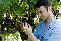 Young man in vineyard inspecting grapes